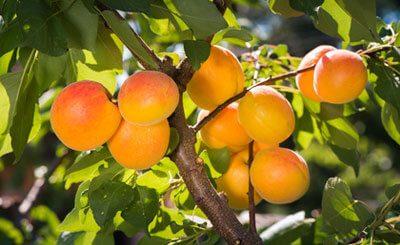 Alternative Krebstherapie mit bitteren Kernen der Aprikose?